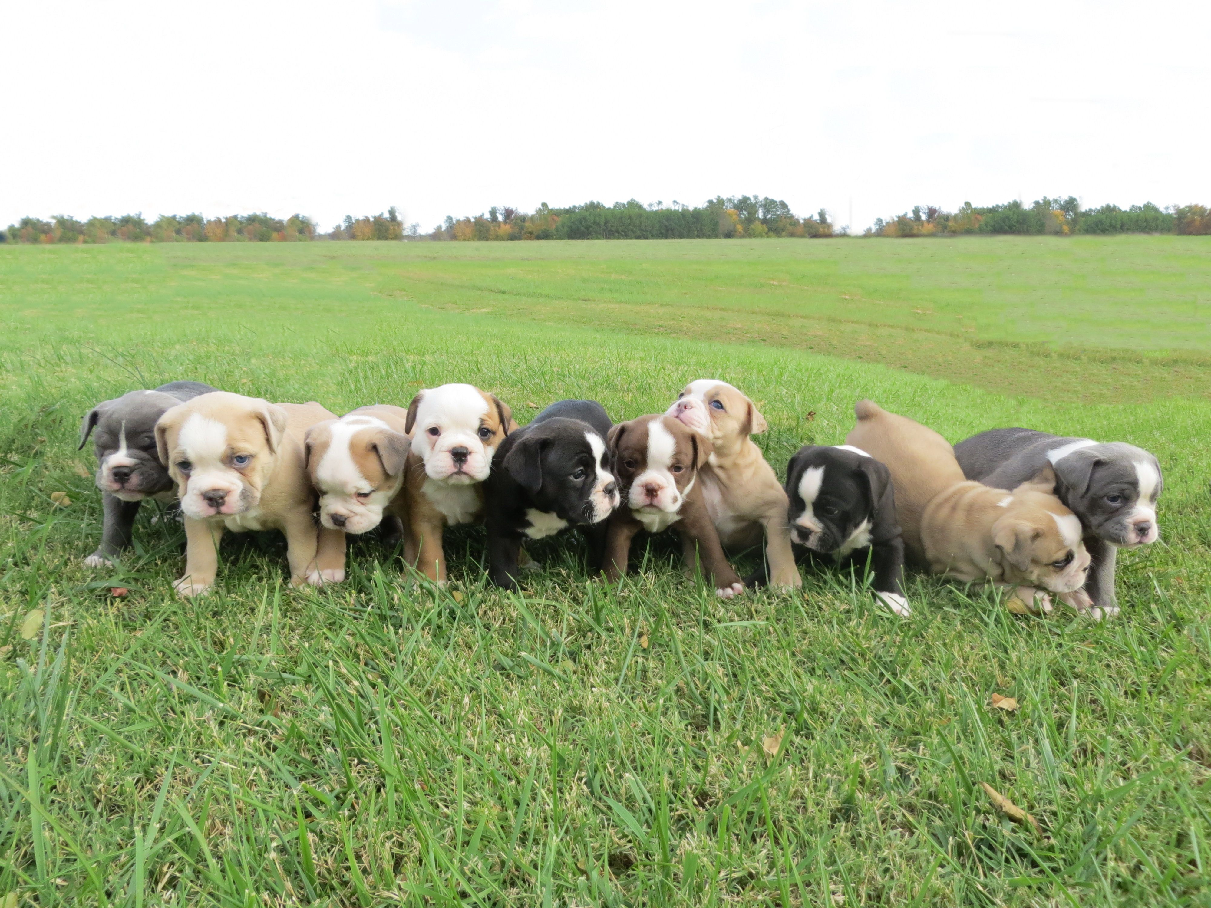 Olde English Bulldogge puppies for sale....so cute :)