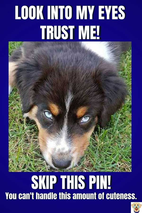Tricolor Australian Shepherd with awesome eyes.  #barkinglaughs #doglovers #dogs #australianshepherds #aussie