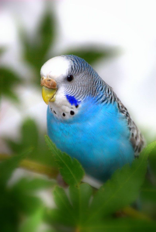 Blue Budgerigar Budgies Bird Budgie Parakeet Blue Budgie