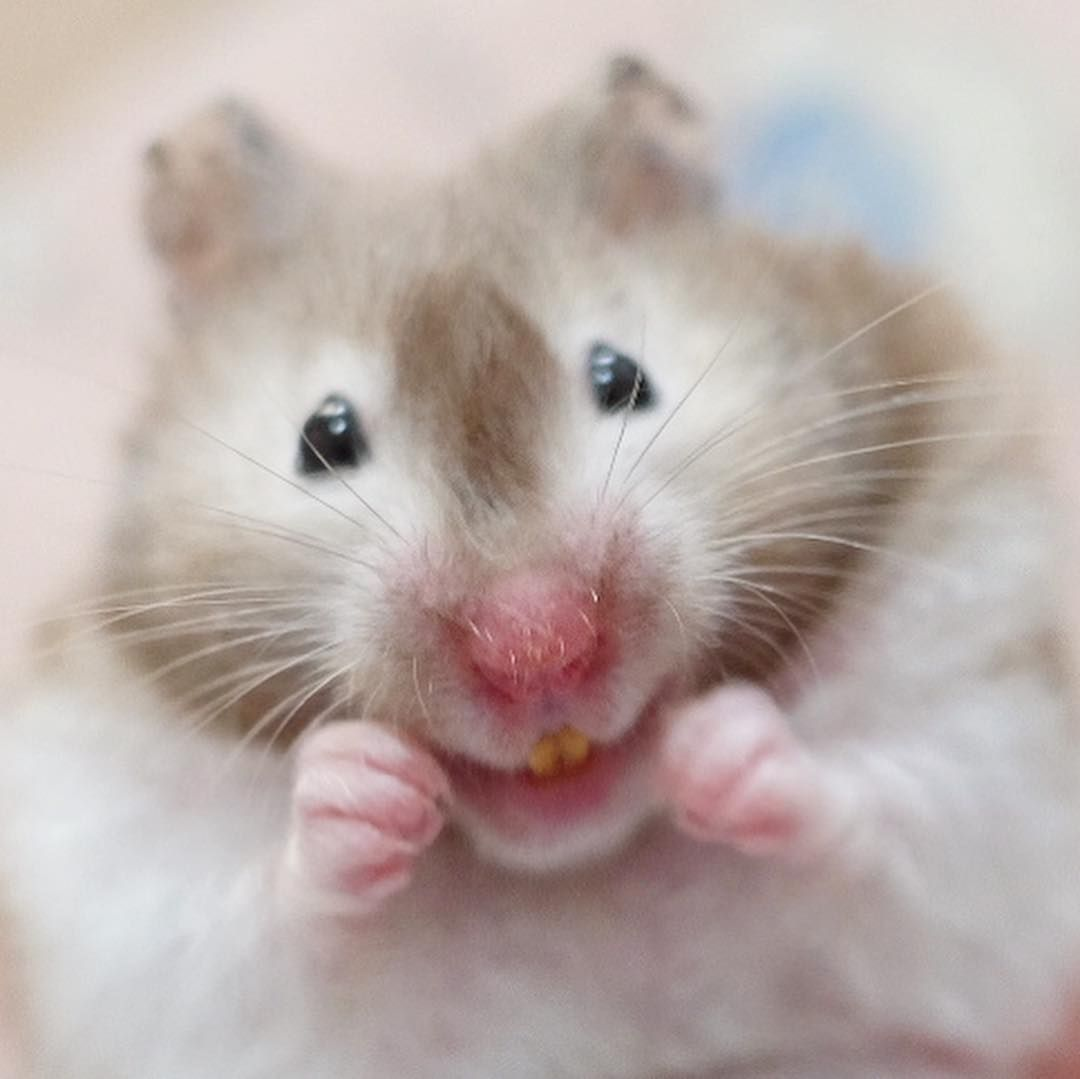 ななこ On Instagram Hijiki 幸せなおやつたいむ ひじきちゃん成長記録 ハムスター Hamster ゴールデンハムスター Goldenhamster Syrianhamster 長毛ハムスター ロングヘアーハムス Hamster Animals