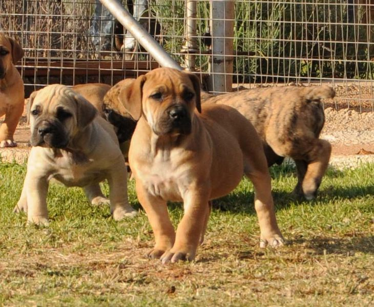 Gumtree Sabt Register Boerboel Pups Cute Animal Pictures
