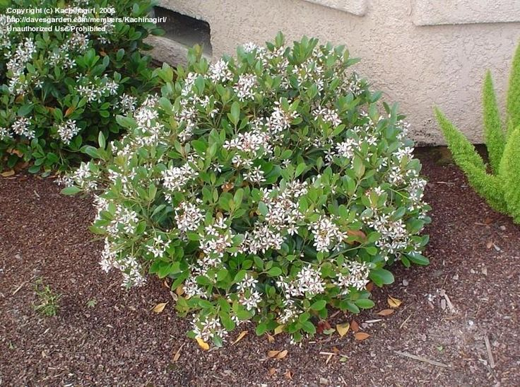Indian Hawthorn White Indian Hawthorn Clara Rhaphiolepis Indica Plants Landscaping Plants Shrubs