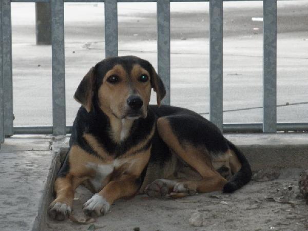 Found Beagle Hound Shepherd Mix In Moody Park Houston Spca