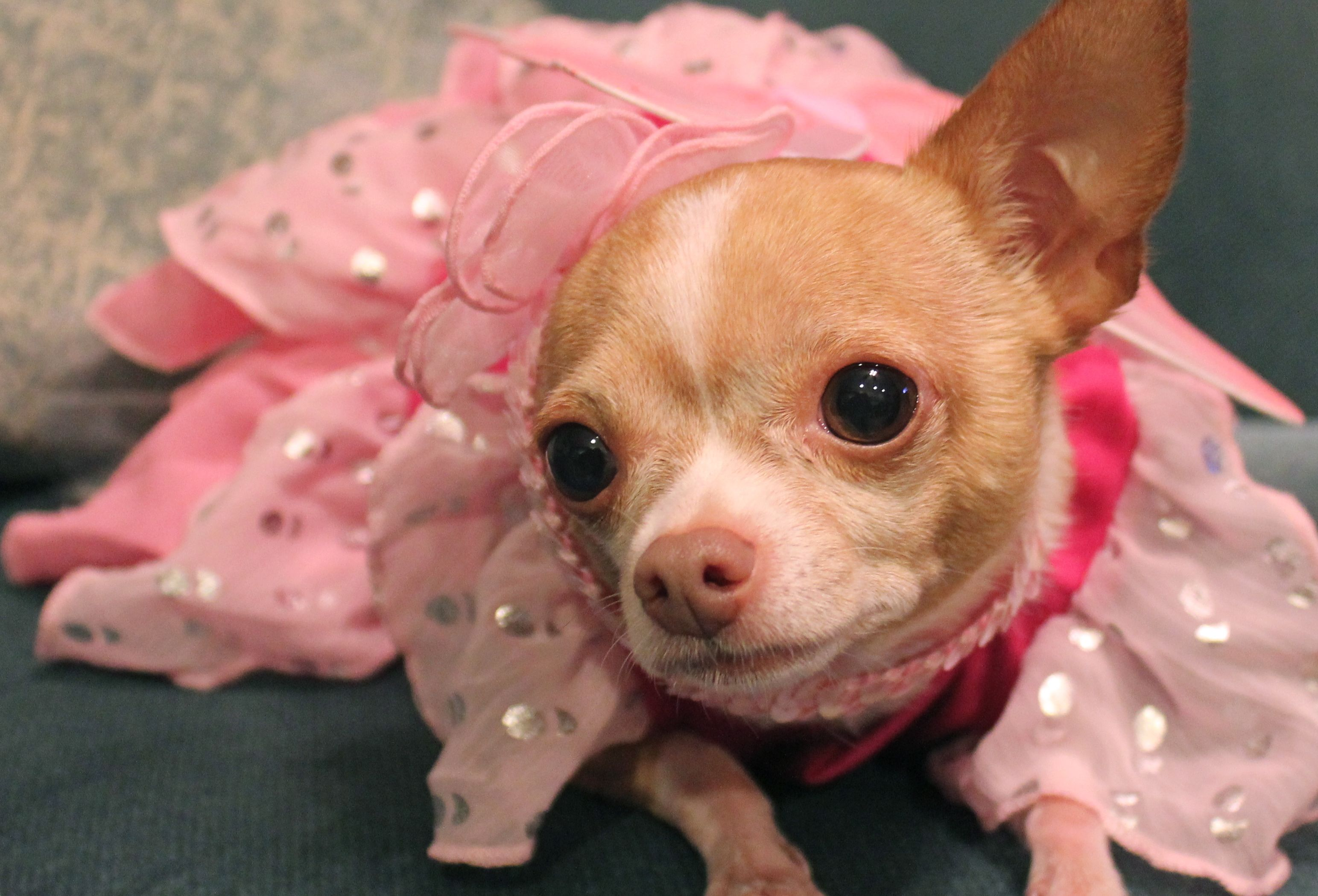 Tinkerbell My Chihuahua In Her Fairy Costume For Halloween Cute Chihuahua Chihuahua Love Chihuahua