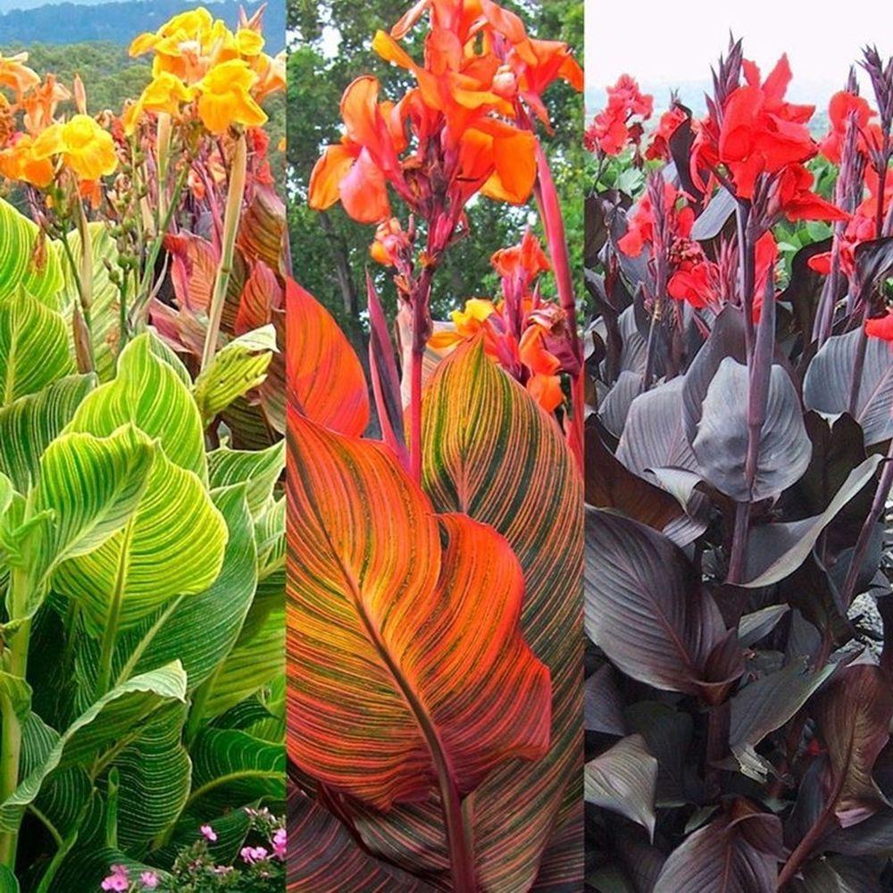 3 Canna Bulbs Rhizomes Tropicanna Phasion Black Knight Pretoria Container Gardening Flowers Canna Bulbs Plant Images