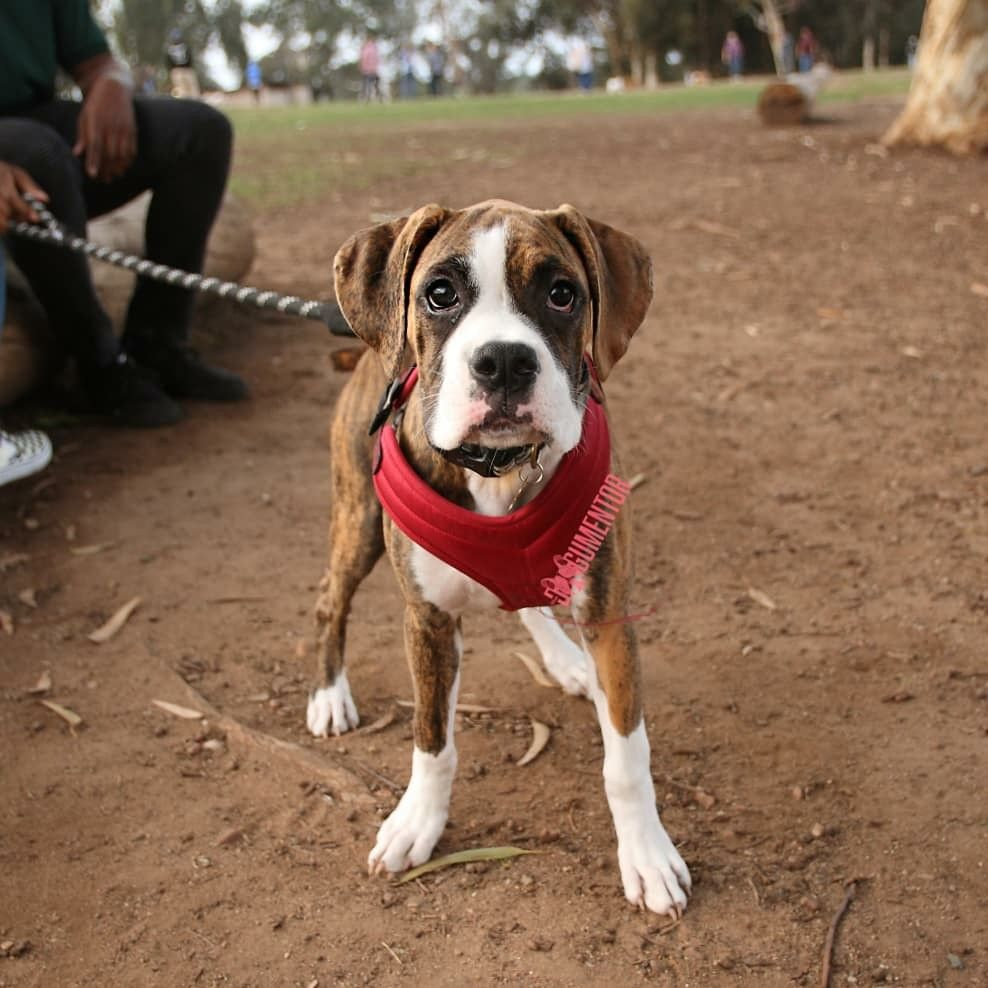 Bubba Boxer 5 M O Grape St Dog Park He S Really Clumsy Dog Park