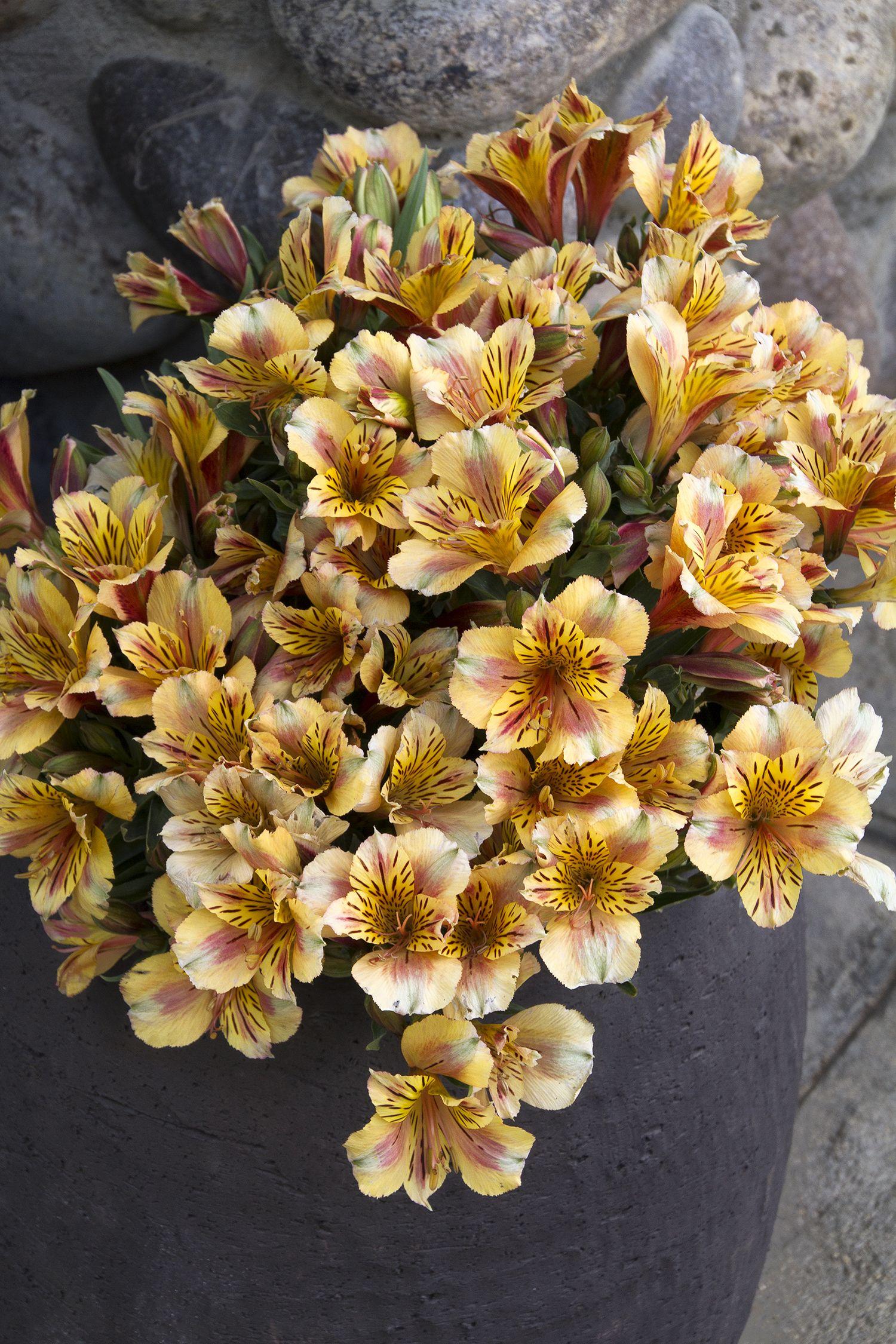 Colorita sara peruvian lily monrovia colorita sara peruvian colorita sara peruvian lily monrovia colorita sara peruvian lily izmirmasajfo