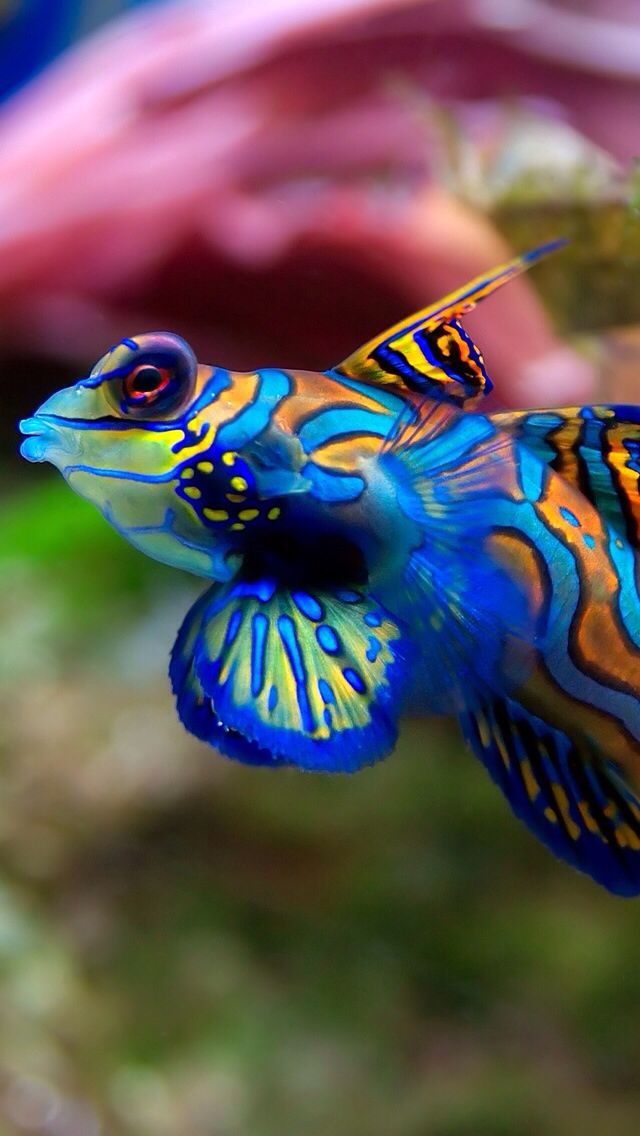 This fish is awesome. I love it's colors!
