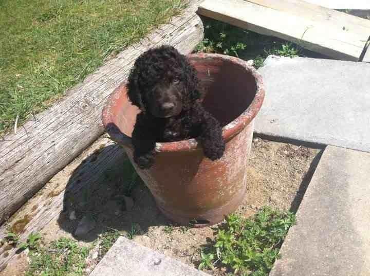 Irish Water Spaniel Puppies For Sale Irish Water Spaniel