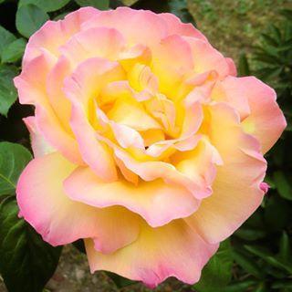 La prima rosa del mio giardino #flower #rose #garden #gardening #nature #flowers #romantic #color #green #instagood #macro #colors