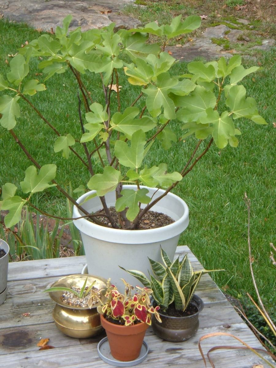 How To Grow Fig Trees In Containers Growing Fig Trees Potted Trees Fig Tree