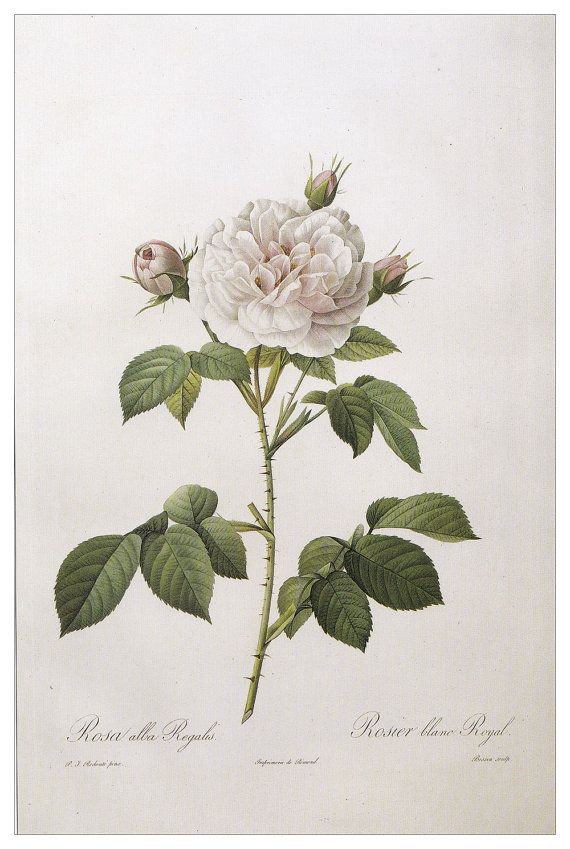 rose vintage plant white flower Botanical art print rosa alba regalis by Pierre-Joseph Redouté home decor wall art 8.25 x 12  inches