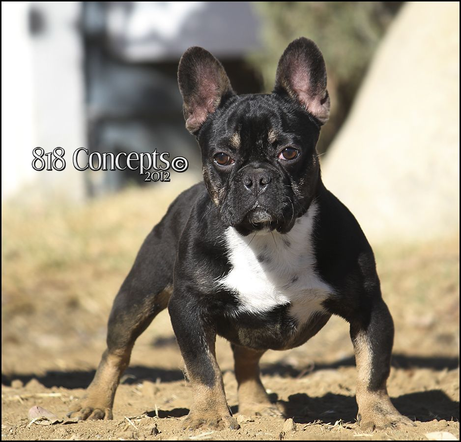 Darth Vader Black And Tan French Bulldog Stud French Bulldog