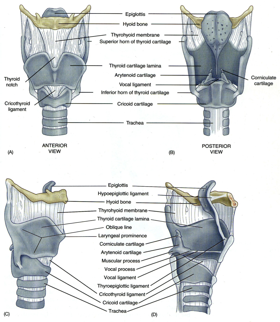 framework of larynx | Anatomy and Physiology for Communication ...