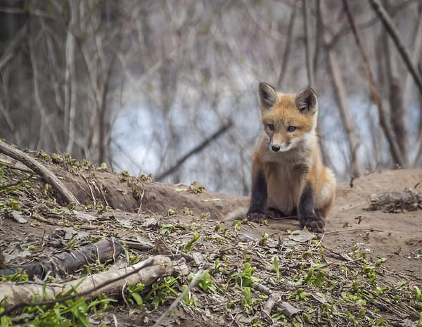 This kit fox is so adorable. They are so beautiful. I felt honored to be able to photograph this den.