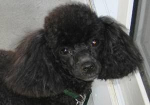Toy Poodle Rescue Toy Poodle Toy Poodle Black Poodle