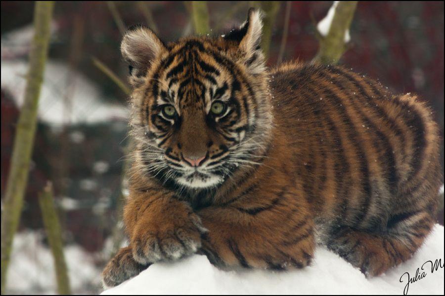 Tiger Cub - Posing like a Lady by Velvet-Paw on DeviantArt