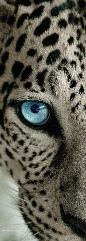 Amazing shot of a snow #leopard ♥