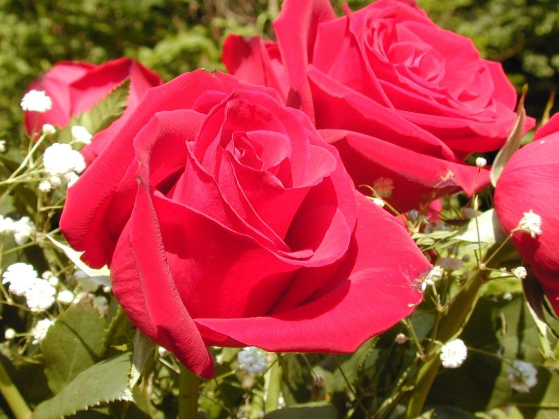 Beautiful Roses Wallpapers Free Download Widescreen 2 Hd Wallpapers Beautiful Flowers Pictures Rose Flower Wallpaper Red Rose Flower