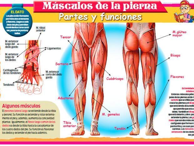 cuantos musculos hay en pierna