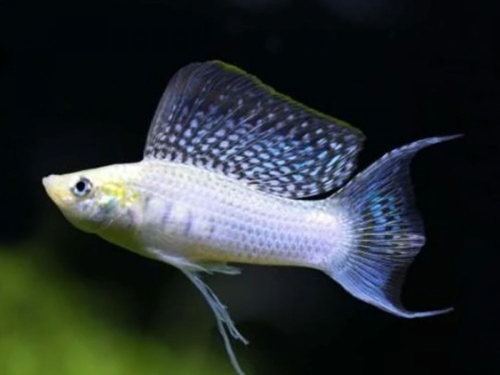 Silver Lyretail Sailfin Molly Get It From Https Fishplace Eu Product Silver Lyretail Molly Price Starts From 0 80 Molly Fish Fresh Water Fish Tank Fish Tank