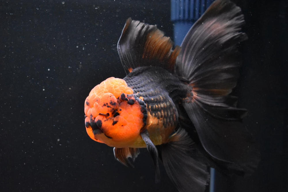 Thai Oranda Red Black 6 5 Inch Id 1008to3a 45 King Koi And Goldfish Beautiful Fish Black And Red Goldfish Food