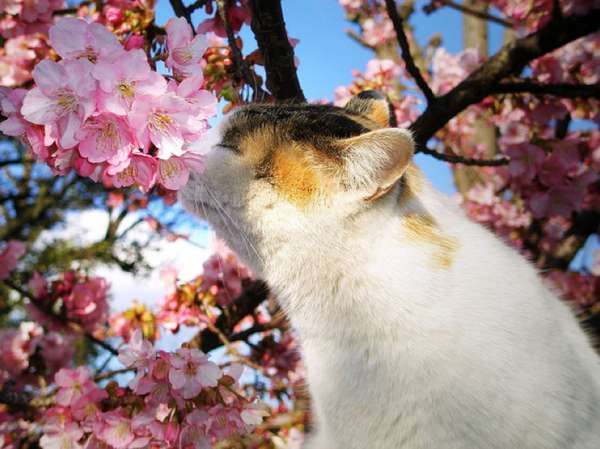 Pin By Charlotte Thompson On Cherry Trees Cats Blossom Trees Cherry Blossom Tree