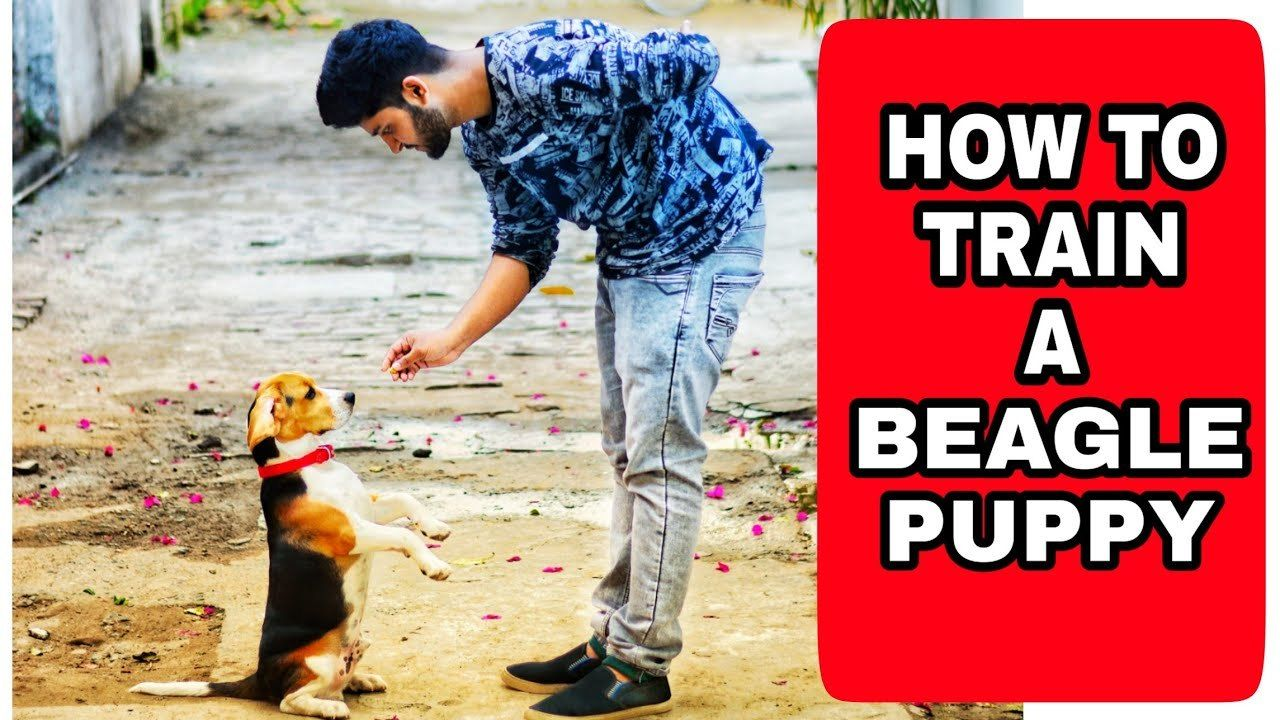Beagle Training How To Understand Your Dog S Natural Instincts