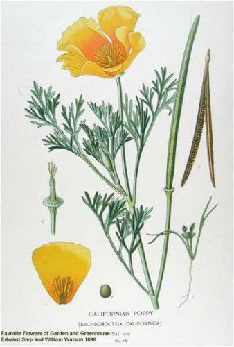 Edward Step & William Watson - California Poppy, 1896 ...