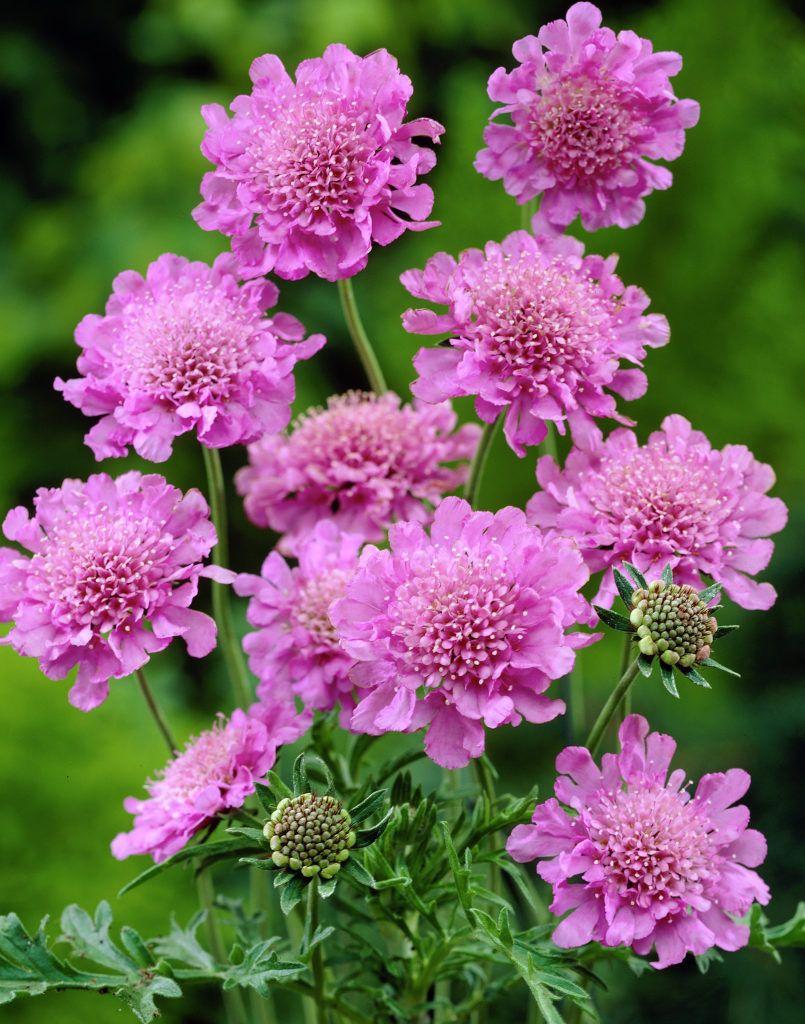 Scabiosa Columbaria Pink Mist Scabiosa Pinterest Flowers