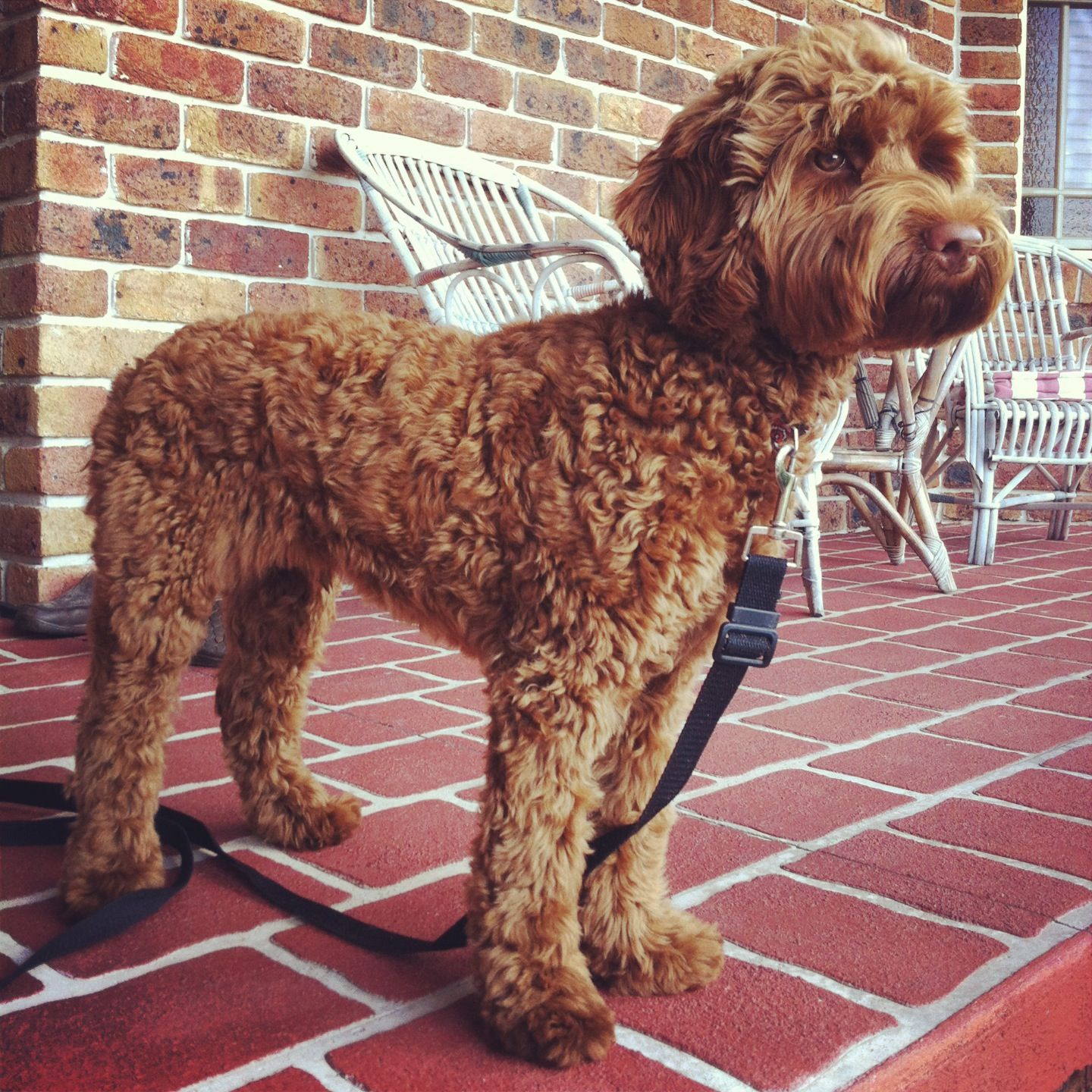 Miniature Fleece Coated Labradoodle Red Coat Clipped Groomed