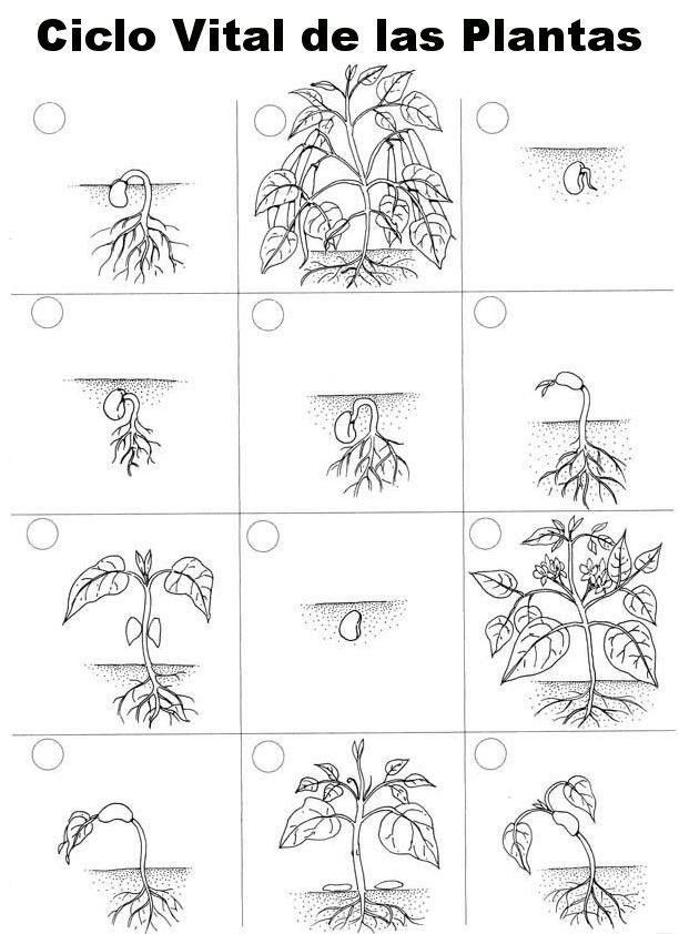 Actividades Sobre El Ciclo De Vida De Las Plantas Ciclos De Vida