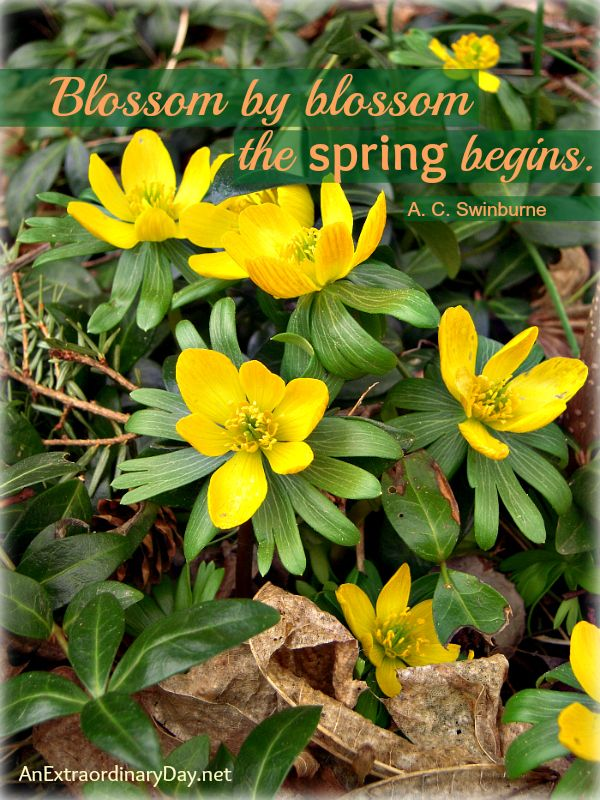 Springu0027s Official Arrival :: Winter Aconites :: The Week At A Glance 3/16 |  An Extraordinary Day