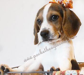 Www Pocketbeaglesusa Com Pocket Beagle Puppies Pocket Beagle