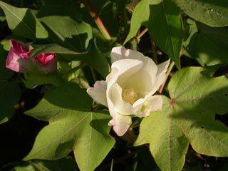 Le coton : fleur