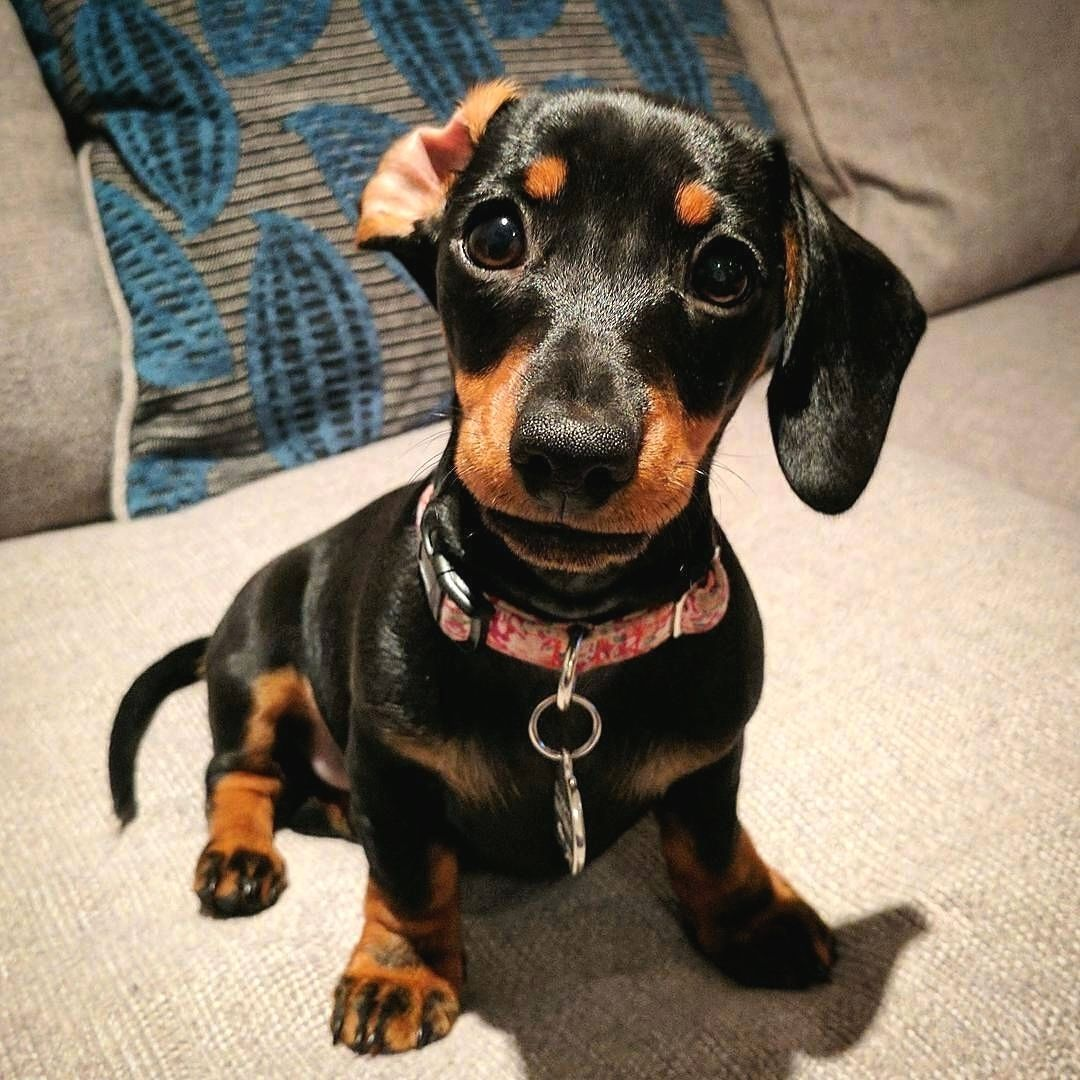 Tag A Friend Below Follow Minidachshundcute Like For Your Daily