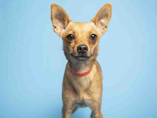 Phoenix Az Chihuahua Meet Dora A Dog For Adoption