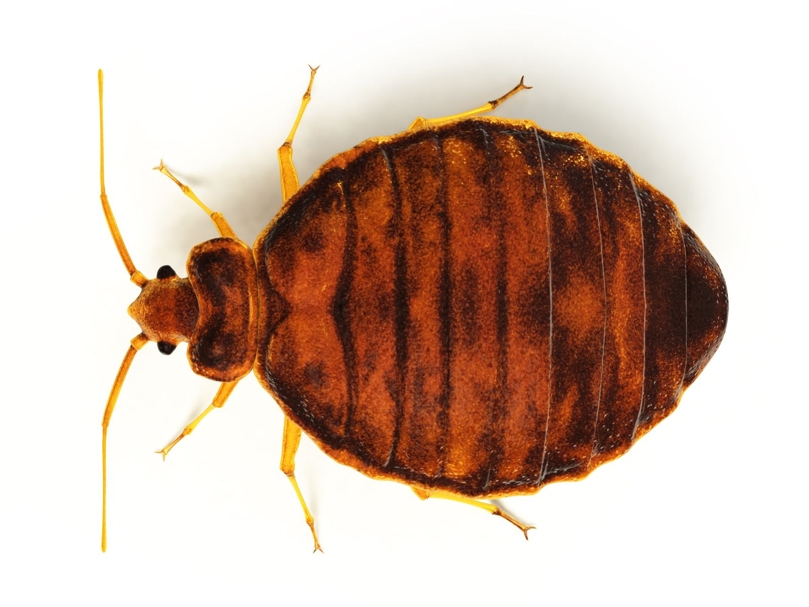 Learn More About Bed Bugs And Prevention Bed Bugs Bed Bug Trap