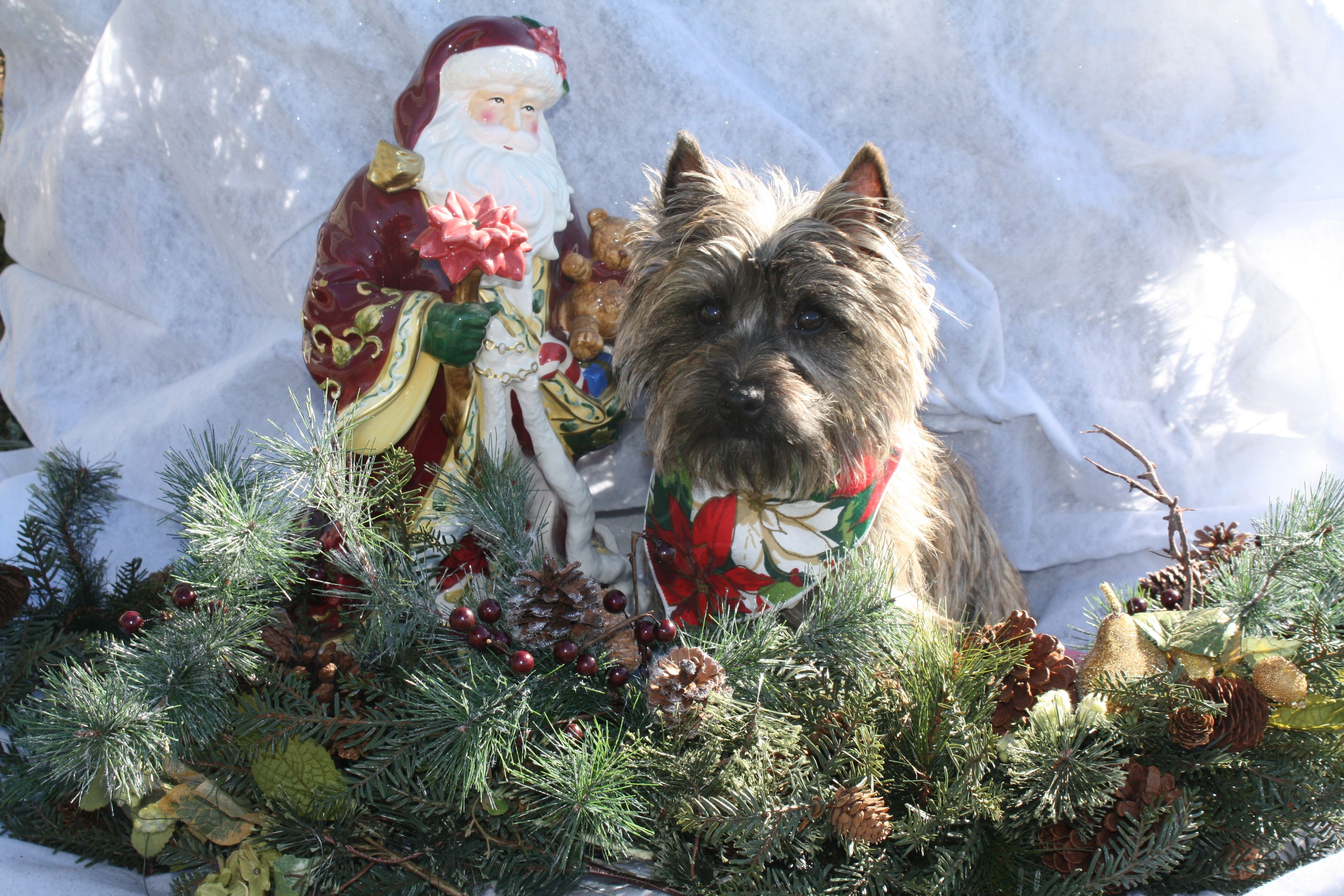 Santa And Sophie Cairn Terrier Big Dogs Cairn