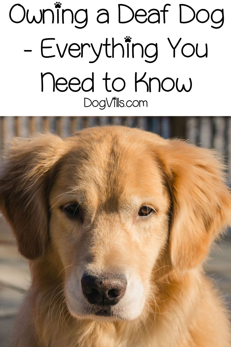 Owning A Deaf Dog Everything You Need To Know Pet Health
