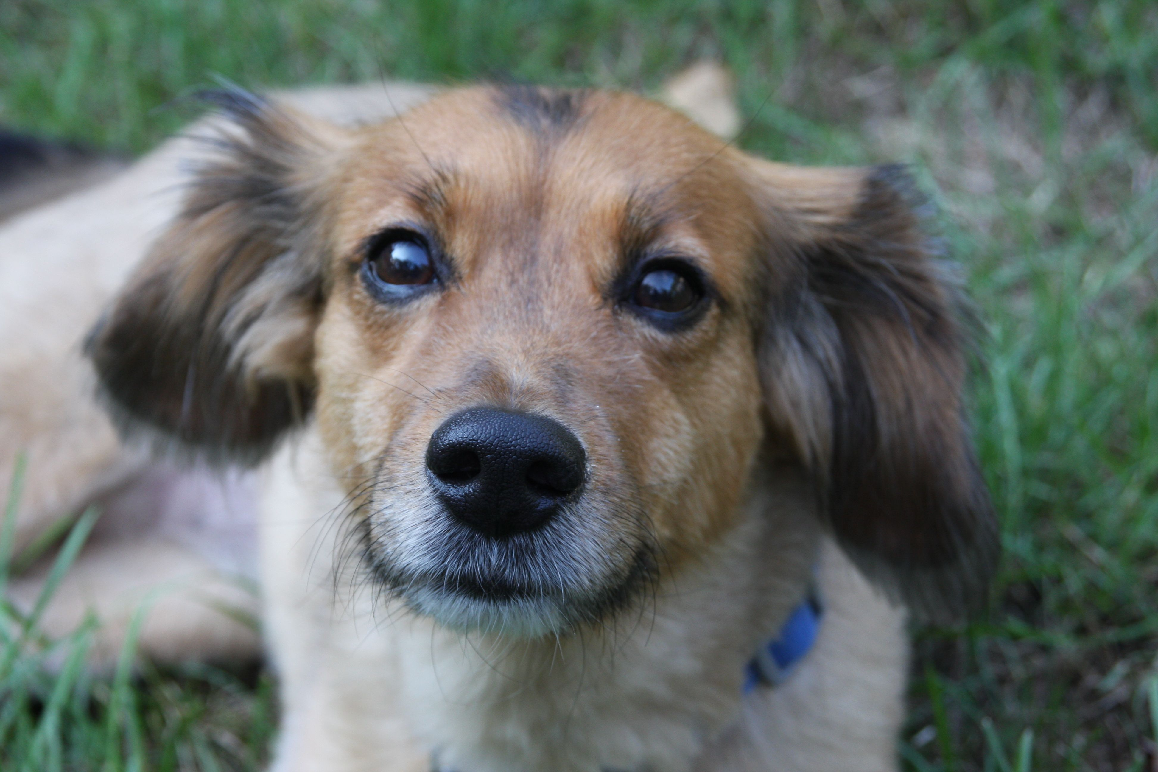Sheagle Beagle Sheltie Mix Beagle Mix Calm Dog Breeds Puppies