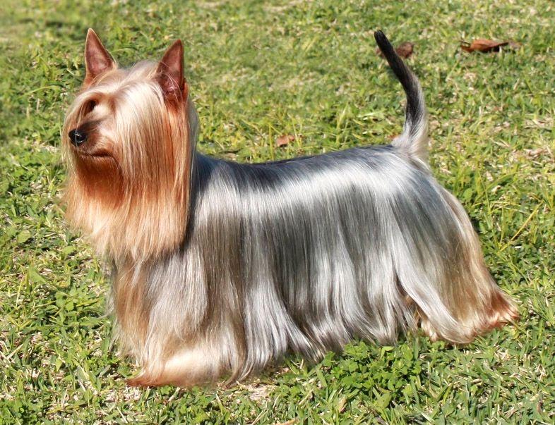 silky dog. australian silky terrier | origin: australia dog d