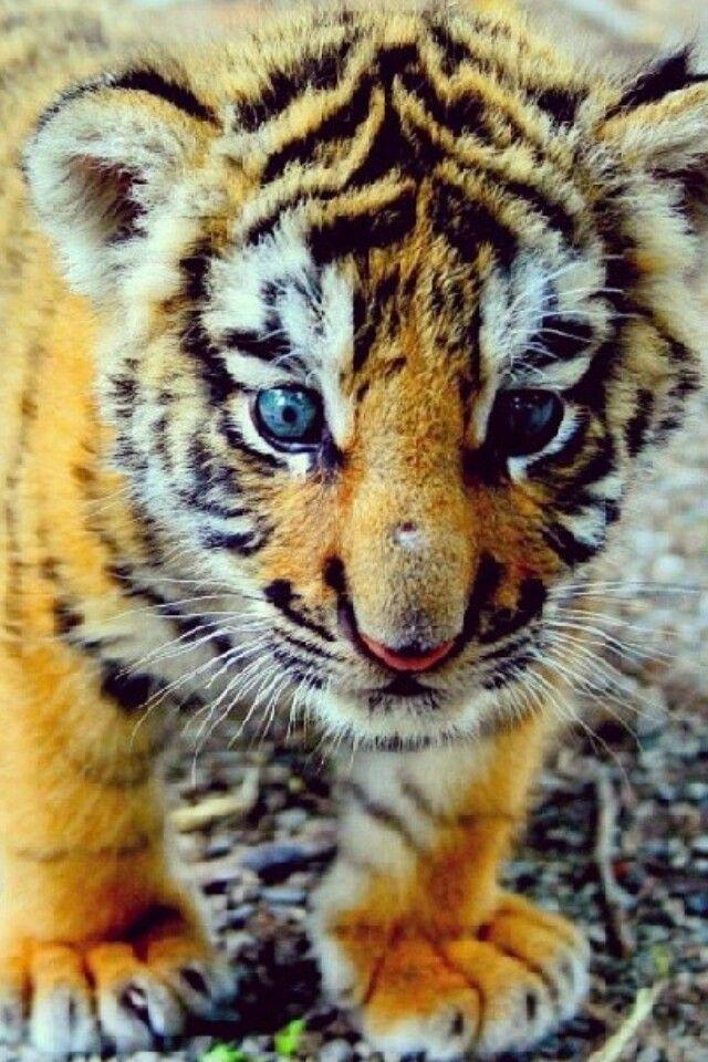 tiger cub tigers another love pinterest tierkinder tier und s. Black Bedroom Furniture Sets. Home Design Ideas