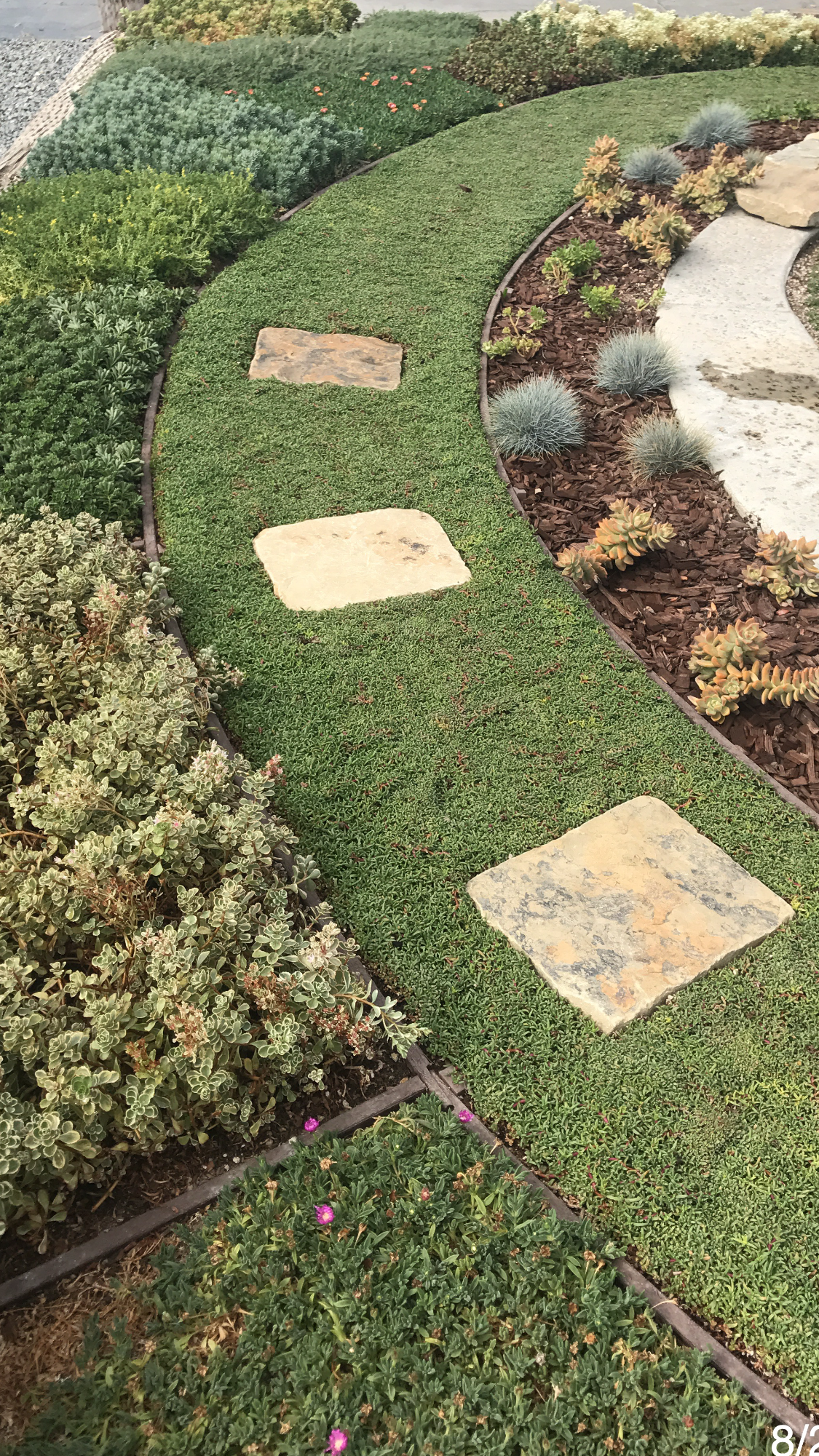 Dwarf Carpet Of Stars A Great Lawn Substitute Grown By Water Wise Landscaping Lawn Alternatives Native Plant Landscape