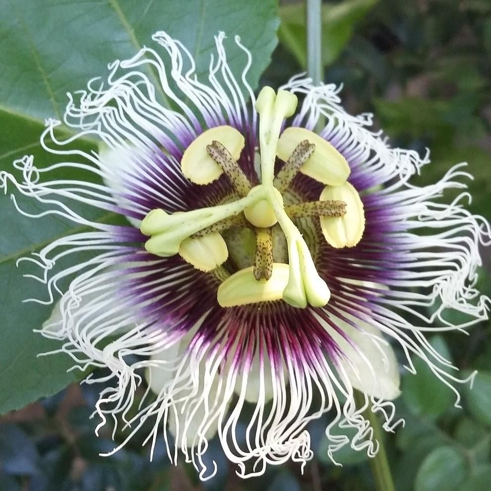Allium Ampeloprasum Passion Flower Passion Flower Plant Easy To Grow Bulbs