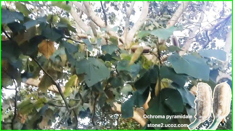 شجرة بلزا هرمية Ochroma Pyramidale قسم الفواكه النبات معلومات نباتية وسمكية معلوماتية Plants