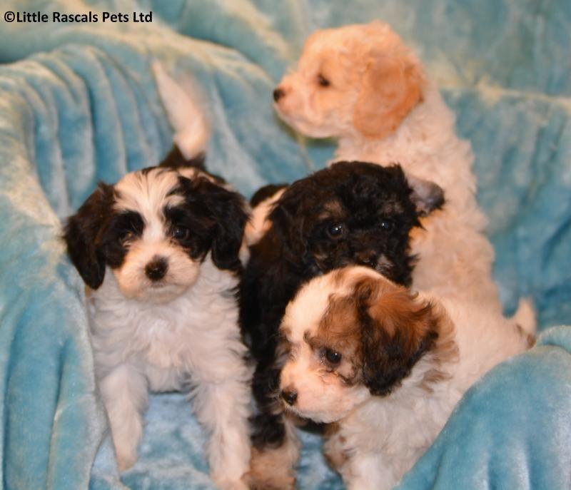 Astonishing Cavapoochon Puppies Designer And Cross Breed Puppies