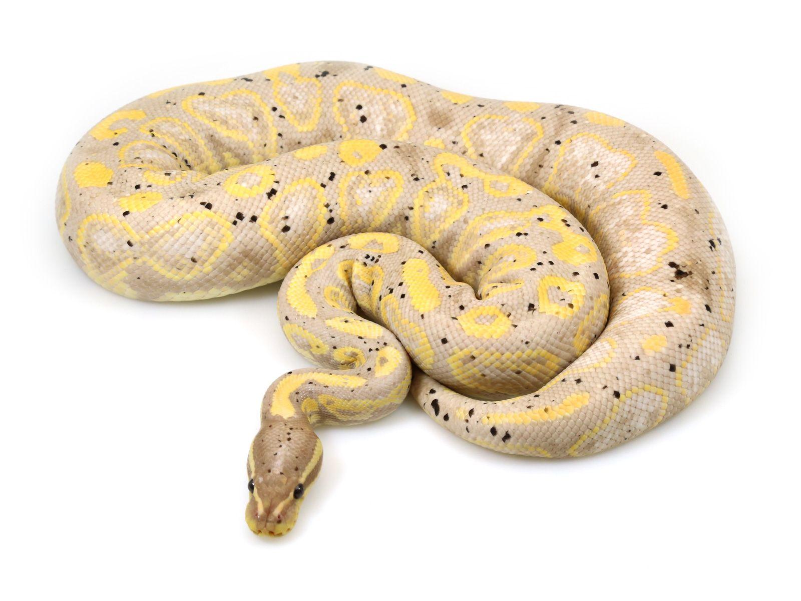 Banana Black Pastel Col Sneky Snake Pinterest Ball Python