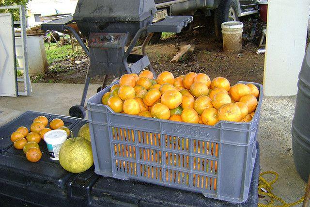 Chinas Mandarinas, Naranjito PR