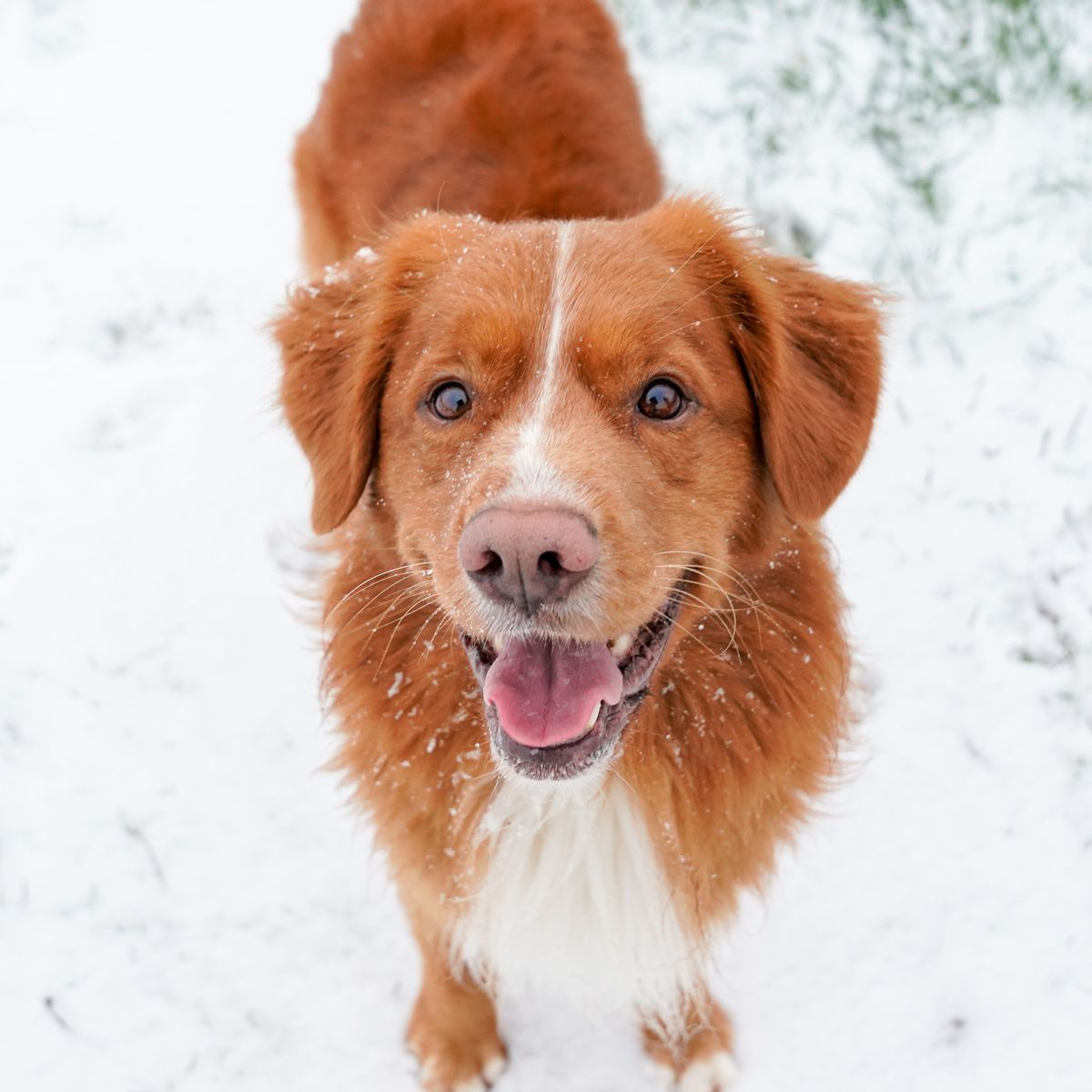 Happy Toller In The Snow Nova Scotia Duck Tolling Retriever Dog Photos Snow Dogs